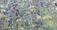 Olives before harvesting: variety Minucciola