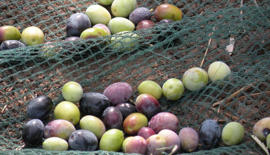 Le olive della varietà Minucciola