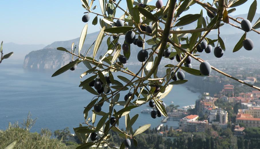 Le olive e il panorama