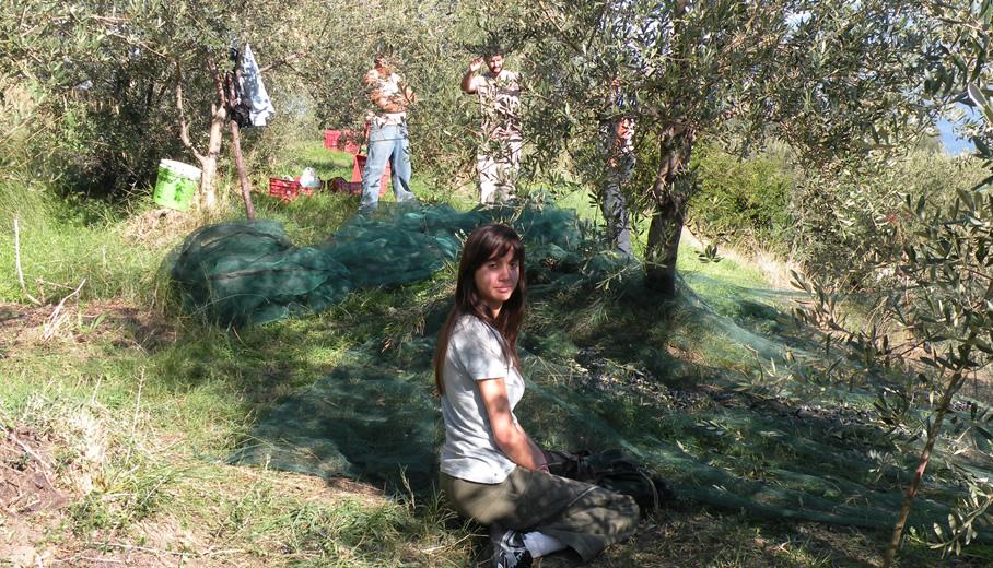 La raccolta manuale delle olive