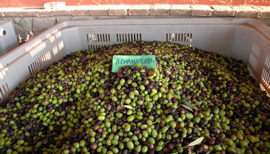Le olive appena raccolte